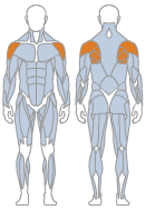 Picture of Shoulders